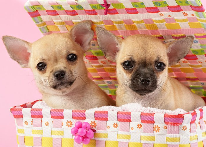 Puppy Greeting Card featuring the digital art Two Chihuahuas by Greg Cuddiford