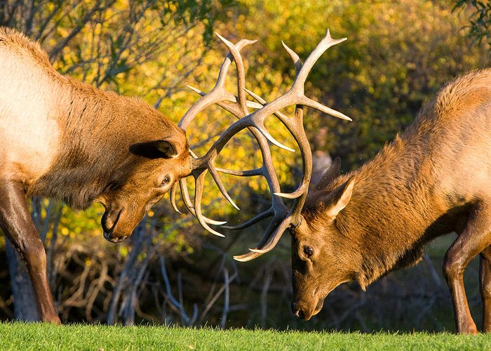 Autumn Greeting Card featuring the photograph Two Elk Bulls Sparring by James BO Insogna