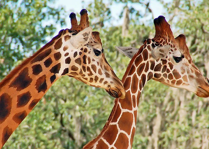 Giraffe Greeting Card featuring the photograph Two Giraffes by Aimee L Maher ALM GALLERY