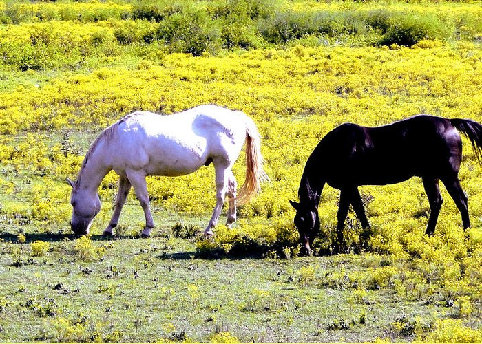 Grazing Horses Greeting Card featuring the photograph Two Horses Grazing by Genia Gartner