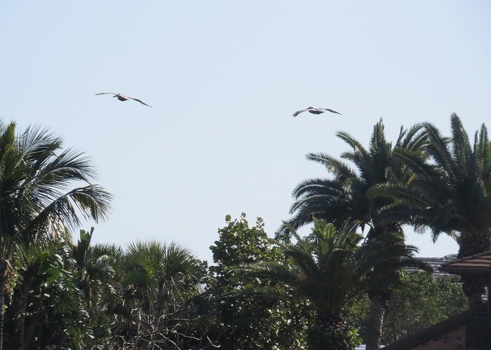 Nature Greeting Card featuring the photograph Two Pelicans by Zina Stromberg