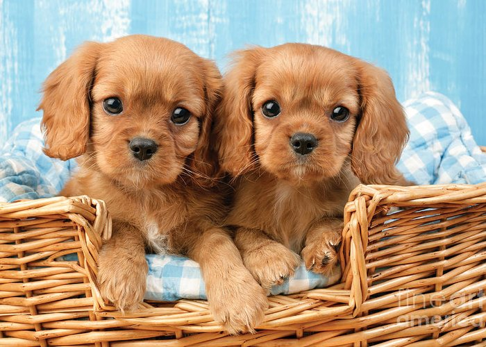 Cavalier Greeting Card featuring the digital art Two Puppies In Woven Basket Dp709 by Greg Cuddiford