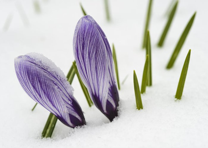 Crocus Greeting Card featuring the photograph Two Purple Crocuses In Spring With Snow by Matthias Hauser