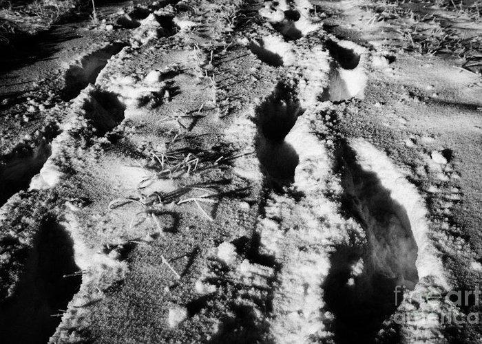 Fresh Greeting Card featuring the photograph two sets of fresh footprints crossing deep snow in field Forget Saskatchewan Canada by Joe Fox