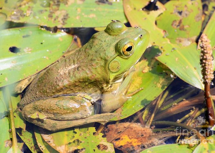 Frog Greeting Card featuring the photograph Two Toned Frog by Rick Rauzi