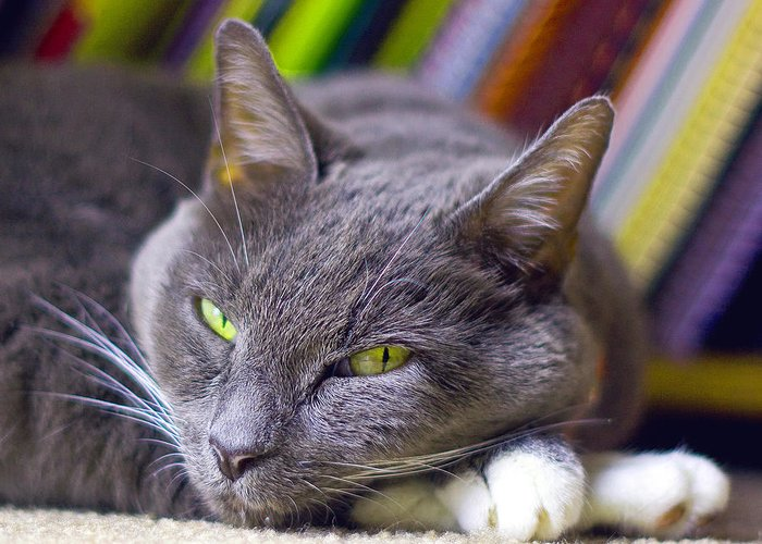 Grey House Cat Greeting Card featuring the photograph Tyla by Joseph C Hinson Photography