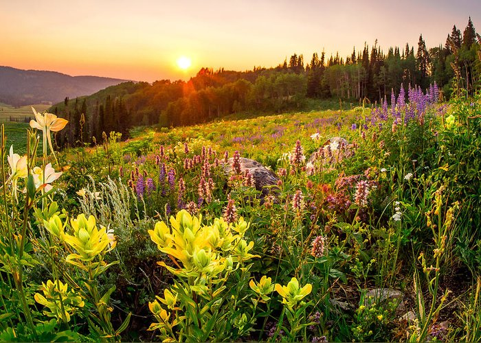 Uinta National Forest Greeting Card featuring the photograph Uinta Wildflowers by Emily Dickey