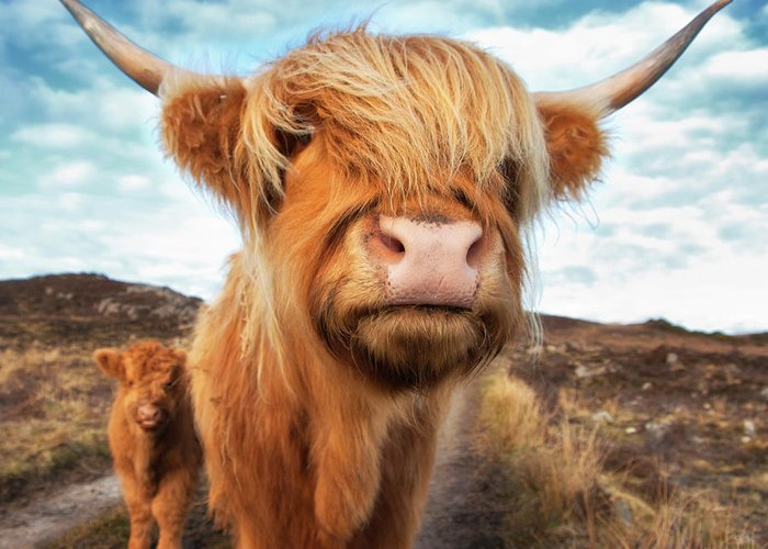 Horned Greeting Card featuring the photograph Uk, Scotland, Highland Cattle With Calf by Westend61