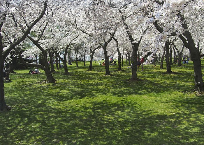 Cherry Blossoms Greeting Card featuring the photograph Under The Cherry Blossoms - Washington Dc. by Mike McGlothlen