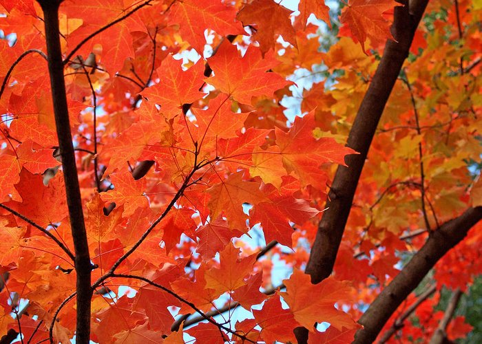 Maple Greeting Card featuring the photograph Under The Orange Maple Tree by Rona Black
