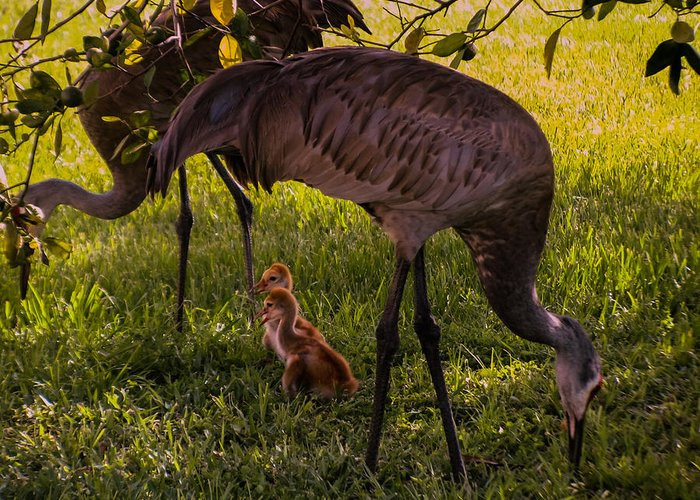 Sandhill Crane Chicks Greeting Card featuring the photograph Under The Orange Tree by Zina Stromberg