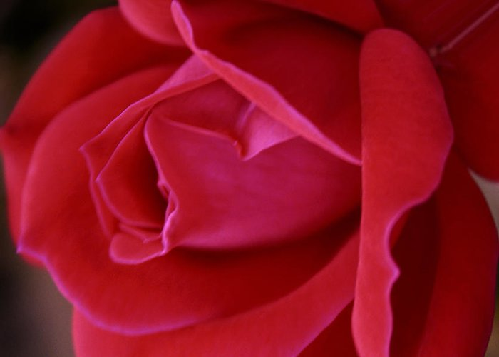 Rose Greeting Card featuring the photograph Unfolding Glory by Mary Beglau Wykes