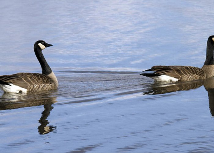Geese Greeting Card featuring the photograph Unison by Rebecca Cozart