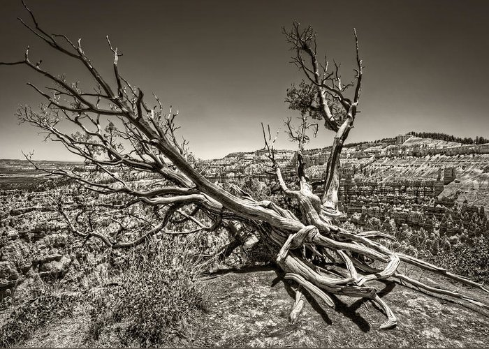 Bryce Canyon Greeting Card featuring the photograph Uprooted - Bryce Canyon Sepia by Tammy Wetzel