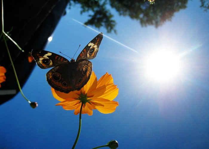Buckeye Butterfly Greeting Card featuring the photograph Upside Down Butterfly by Kristen Carrasco