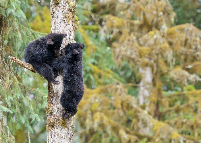 Black Bear Climbing Tree Greeting Cards