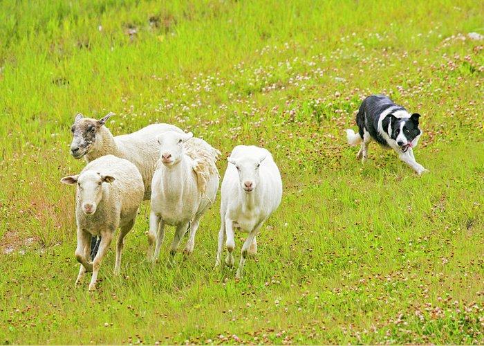 Border Collie Herding Sheep Art Fine Art America