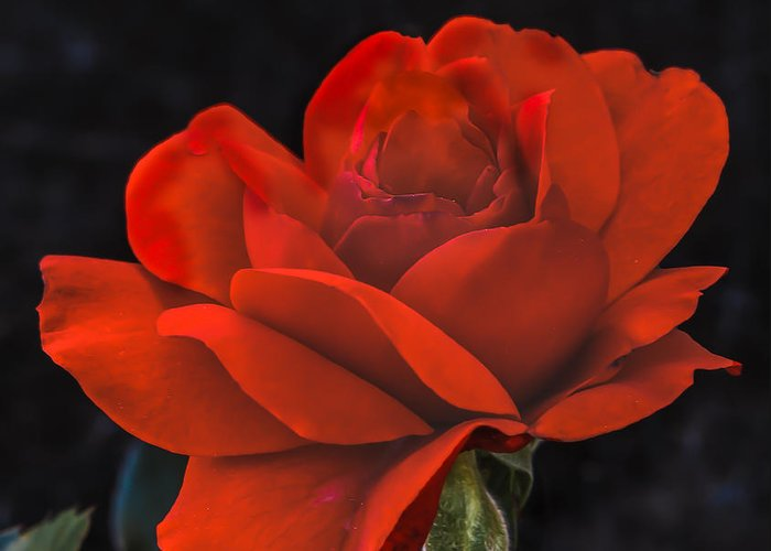 Perennial Greeting Card featuring the photograph Valentine Rose by Robert Bales