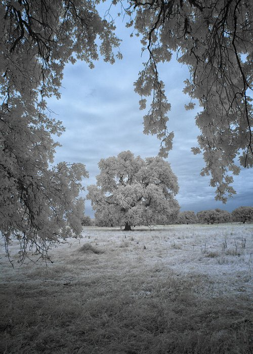Oak Greeting Card featuring the photograph Valley Oak #3b by Alan Kepler