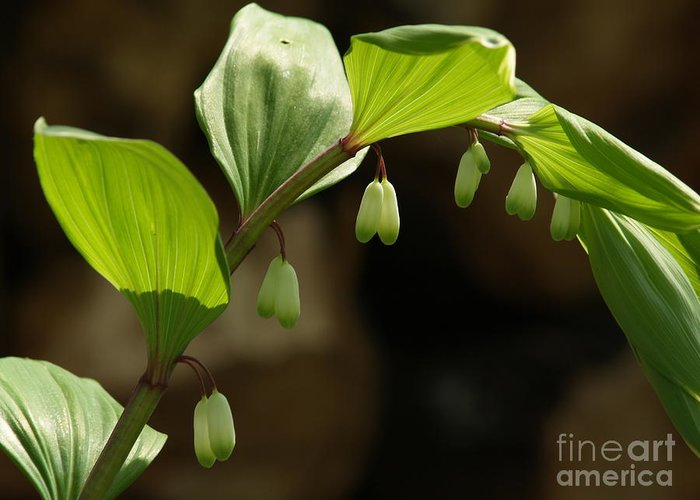 Solomon's Seal Greeting Card featuring the photograph Variegated Solomon's Seal In Spring - Pennsylvania by Anna Lisa Yoder