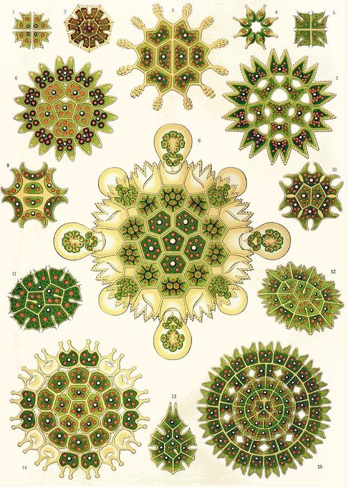 Vertical Greeting Card featuring the painting Varities Of Pediastrum From Kunstformen Der Natur by Ernst Haeckel
