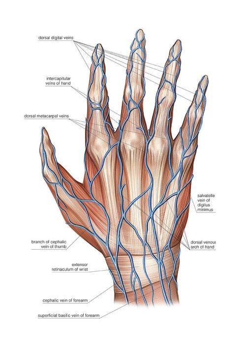 Dorsal venous arch hand