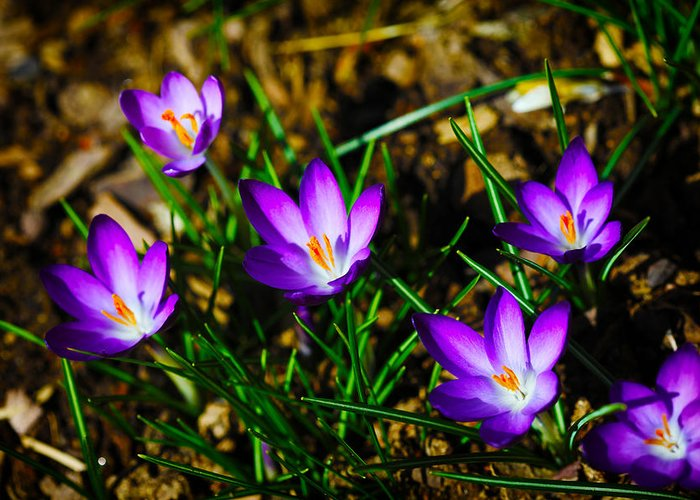 Crocus Greeting Card featuring the photograph Vibrant Crocuses by Karol Livote