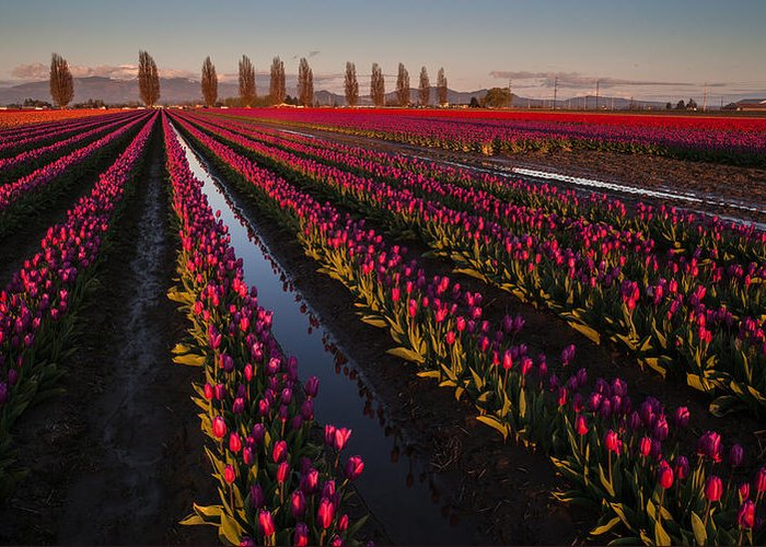 Skagit Tulip Festival Greeting Card featuring the photograph Vibrant Dusk Tulips by Mike Reid
