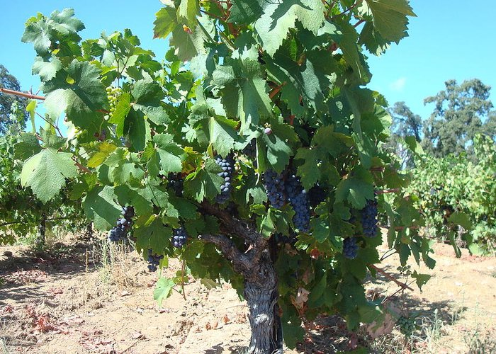 Vineyard Greeting Card featuring the photograph Villa Toscano Vineyards by Susan Woodward