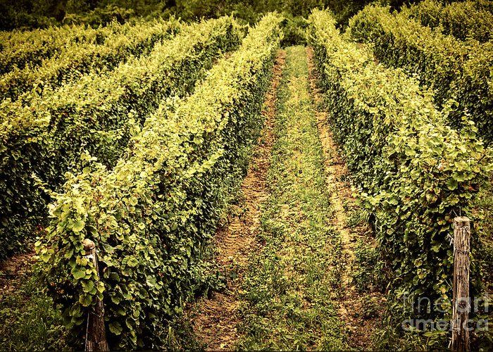 Vineyard Greeting Card featuring the photograph Vines Growing In Vineyard by Elena Elisseeva