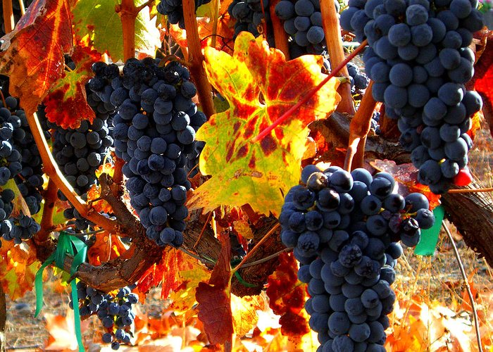 Grapes Greeting Card featuring the photograph Vineyard 8 by Xueling Zou