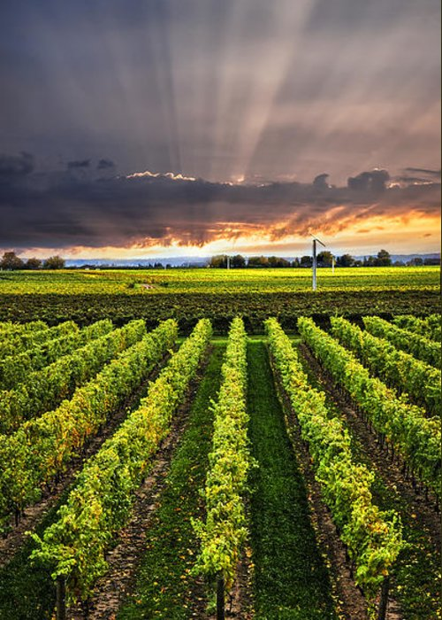 Vineyard Greeting Card featuring the photograph Vineyard At Sunset by Elena Elisseeva