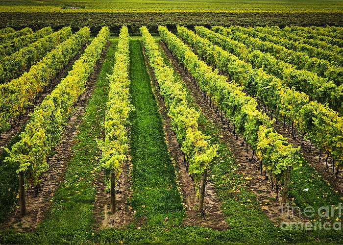 Row Greeting Card featuring the photograph Vineyard by Elena Elisseeva