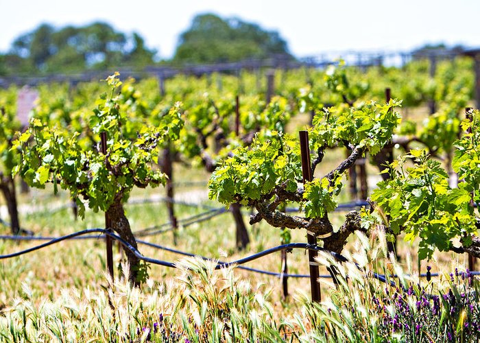 California Greeting Card featuring the photograph Vineyard With Young Plants by Susan Schmitz