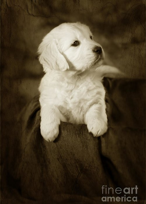 Dog Greeting Card featuring the photograph Vintage Golden Retriever Pup by Angel Tarantella