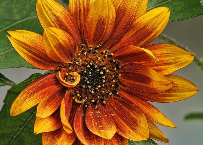 Sunflower Greeting Card featuring the photograph Visions Of Summer by Peggy Hughes