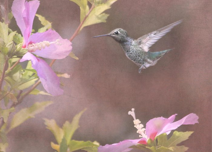 Rose Of Sharon Greeting Card featuring the photograph Visitor In The Rose Of Sharon by Angie Vogel