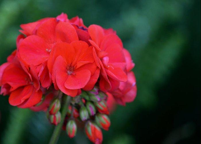 Vividly Red Geranium Greeting Card featuring the photograph Vividly Red Geranium by Maria Urso
