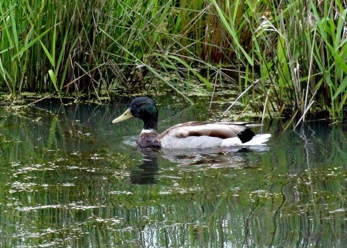 Ridgefield National Wildlife Refuge Greeting Card featuring the photograph Wading Mallard Duck by Lizbeth Bostrom