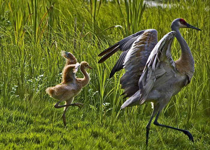 Sandhill Crane Greeting Card featuring the photograph Walk This Way by Rob Mclean