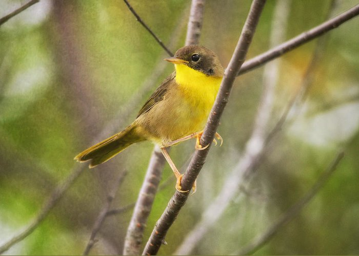 Warbler Greeting Card featuring the photograph Warbler In Sunlight by Susan Capuano