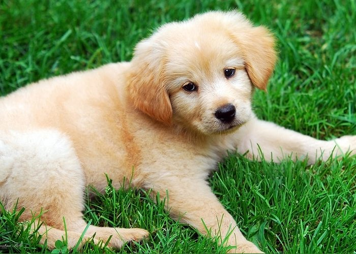 Golden Retriever Puppy Greeting Card featuring the photograph Warm Fuzzy Puppy by Christina Rollo