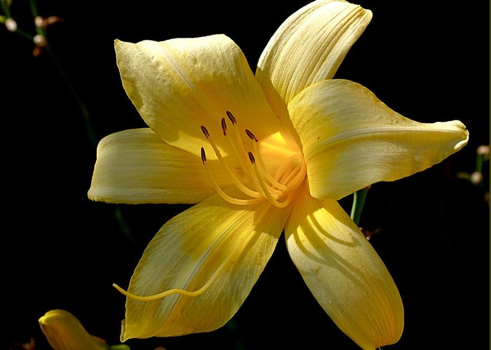 Lily Greeting Card featuring the photograph Warm Glow by Rona Black