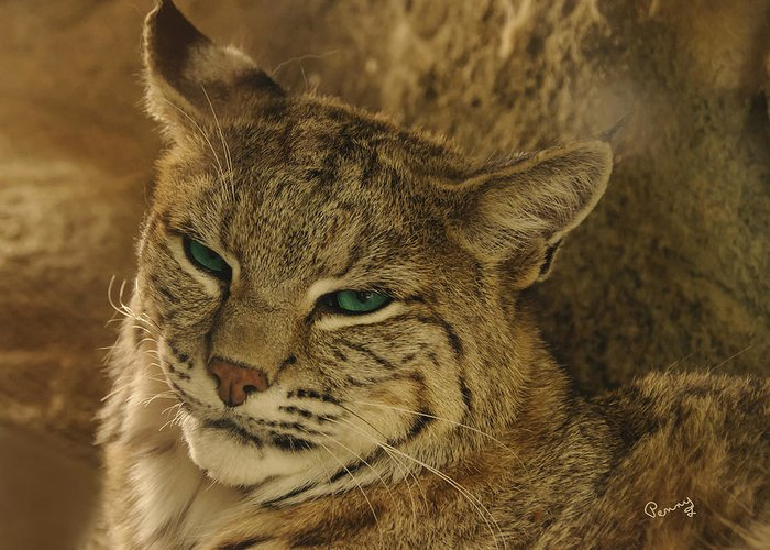 Penny Lisowski Greeting Card featuring the photograph Wary Bobcat by Penny Lisowski