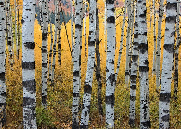 Aspens Greeting Cards