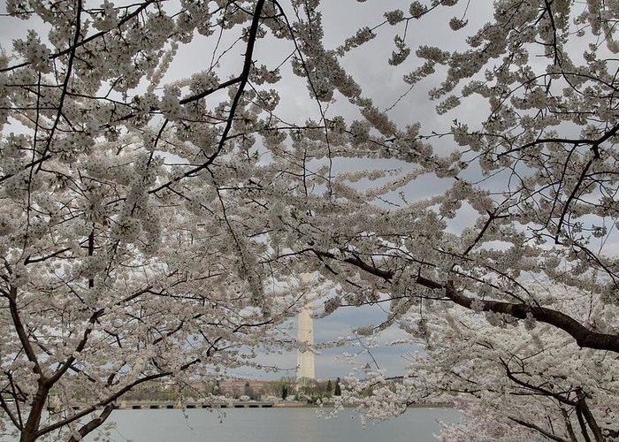 America Greeting Card featuring the photograph Washington Monument - Cherry Blossoms - Washington Dc - 011323 by DC Photographer