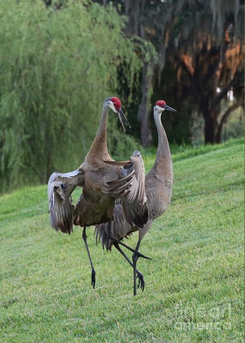 Sandhill Cranes Greeting Card featuring the photograph Watch Your Parents by Carol Groenen