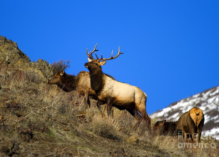 Elk Greeting Card featuring the photograph Watchful Bull by Mike Dawson