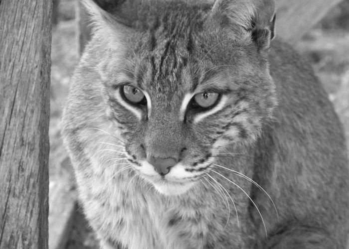 Bobcats Greeting Card featuring the photograph Watchful Eyes Black And White by Jennifer King