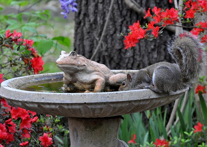 Squirrel Greeting Card featuring the photograph Water Break by Pam Garcia